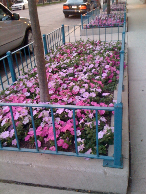 Petunias in the summer....