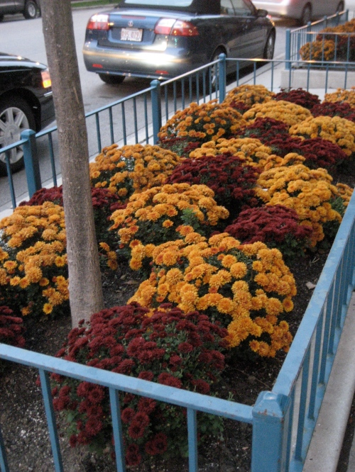 Fall mums (I love).